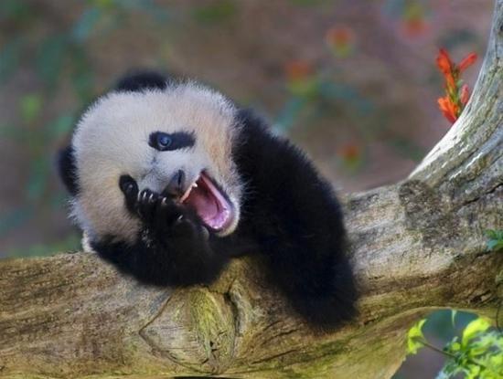 """熊猫宝宝摔进""""世界最佳图片"""" 盘点大熊猫可爱瞬间"""